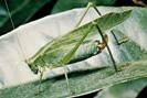 Katydid - www.britannica.com